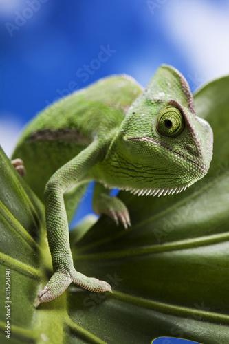 Green chameleon on leaf