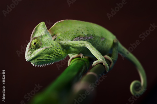 Deurstickers Kameleon Green chameleon on bamboo