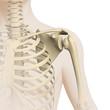Schulter - Anatomie - 3D Grafik