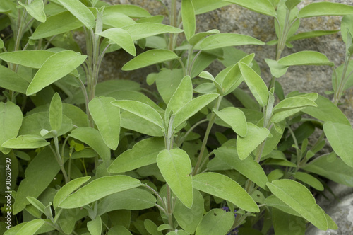 Salbei, Salvia officinalis