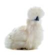 jeune poule nègre soie