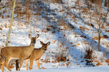 A doe and her nearly grown fawn in winter