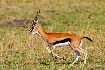Male Grant's gazelle in the Maasai Mara National Park, Kenya