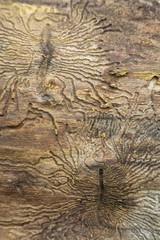 Larvengänge des Borkenkäfers (Scolytinae)