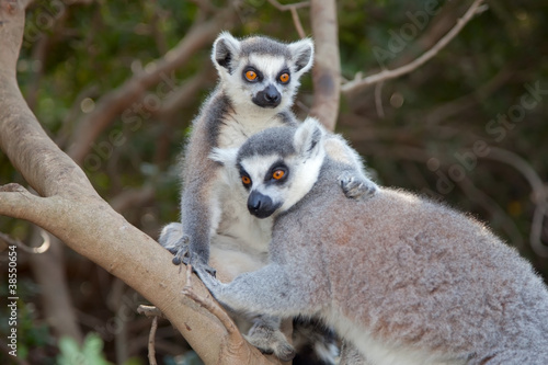 Ring-tailed lemur (Lemur catta)