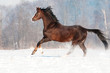 Brown welsh pony stallion in winter