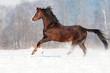 Brown welsh pony stallion in winter