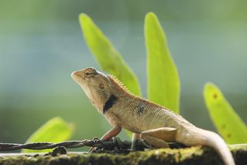 Wild lizard in Thailand