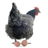 poule pondeuse et ses oeufs