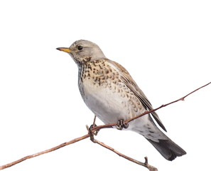 Fieldfare isolated on white background, Turdus pilaris