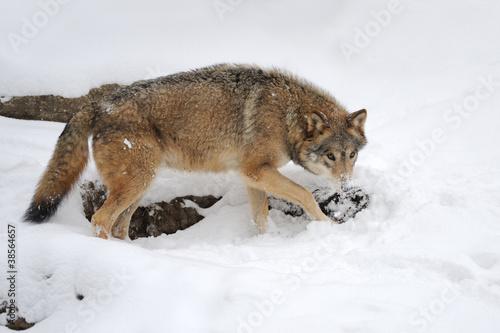 Tuinposter Eekhoorn Wolf