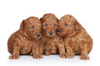 Group of a Toy-poodle Puppy (20 days) on a white background