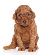 Miniature poodle puppy on white background