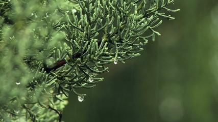 Nadeln einer Zypresse im Regen