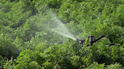 Bewässerung eines Gemüsefeldes wegen starker Trockenheit