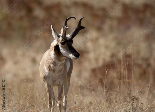 Foto op Canvas Antilope Pronghorn Antelope Buck in Prairie habitat