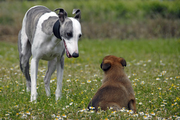 chiot malinois et adulte whippet