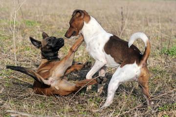 jeu de chiot malinois et jack russel terrier