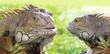 Two Iguana