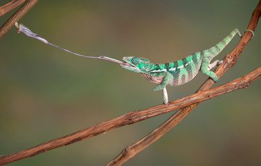 Chameleon shoots out tongue