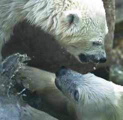 white bears_1