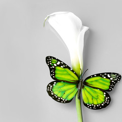 butterfly sitting on caal flower over grey background