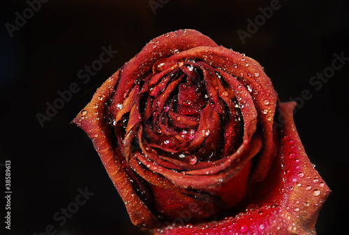 rose with waterdrops