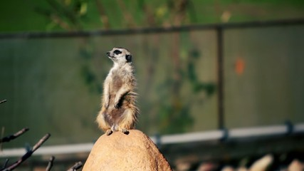 Gopher stands guard on rock and looks around