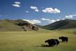 Yacks, Mongolie