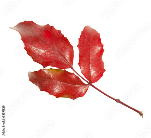 Red leaf of ilex isolated on white background