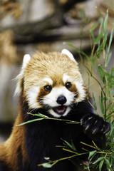 Red Panda(Lesser Panda)