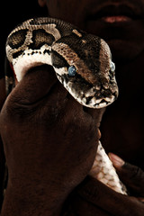 Brown Boa Constrictor in Man's Hand
