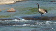 Goose walking on slippery river rock