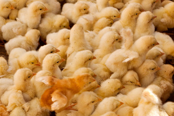 Large Group of Baby Chicks