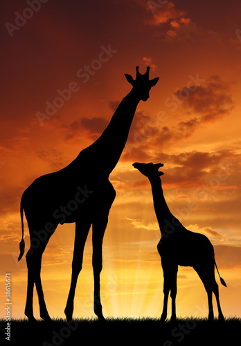 canvas print picture Two giraffes in sunset