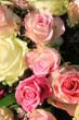 Soft pink and white roses with drops in sunlight