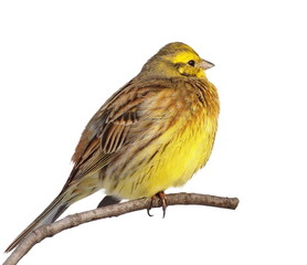 Yellowhammer isolated on white background, Emberiza citrinella