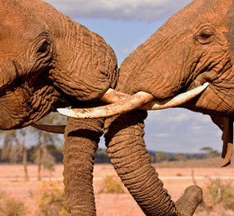 two elephant brothers fighting