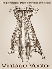 Vector vintage anatomy sketch drawing
