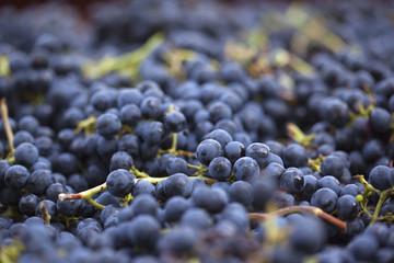 Vin, vendange, raisin, vigne, viticulture, grappes, Bordeaux