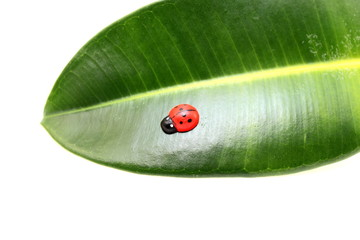 Beautiful ladybird on the leaf ficus closeup
