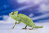 Chameleon on the blue sky