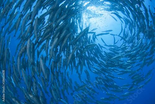 回るギンガメアジの群れ - 38643608