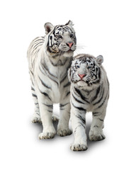 Two white tigers