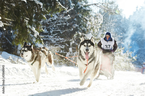 Winter Sled dog racing musher and Siberian husky