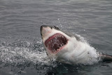 Fototapety Attack great white shark