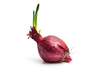 Cipolla rossa con germoglio 2