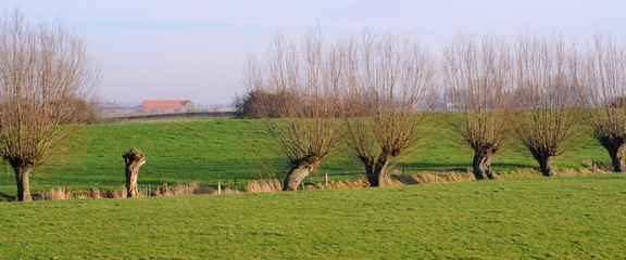 polder landscape with pollard willows, flanders