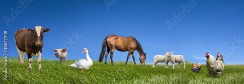 Foto op Plexiglas Kip Farm animals collection