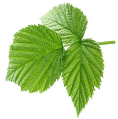Young leaf of raspberry on white background.